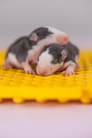 Blind cubs of a mouse. Newborn rodents close-up. Decorative little animals.