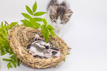 The concept of curiosity. The cat is watching sleeping mice. Newborn rats are sleeping in a basket.
