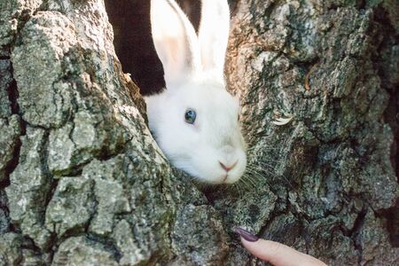 A beautiful white rabbit is sitting on a tree. The hare is hiding in the hollow. Decorative pets close-up.