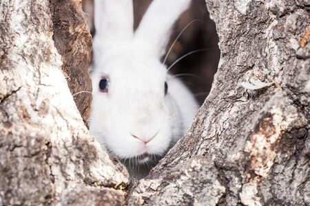 A white rabbit sits in a hollow. A hare is hiding in a tree. Decorative pets close-up.