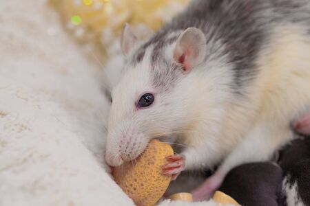 The rat eats a piece of cheese. Muzzle of a decorative mouse close-up. Domestic rodents. Фото со стока