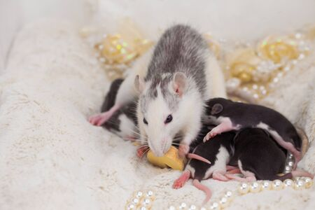 Mom is a rat with her cubs. The mouse eats a piece of cheese. Decorative home rodents close-up.