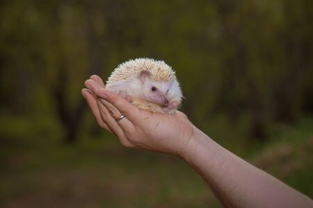 White hedgehog close-up. The rodent sits on the hands of a man. Cute decorative hedgehog.