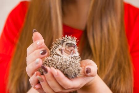 A cute hedgehog is sitting on his hands. Domestic rodents close-up. People and pets. Фото со стока