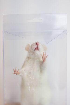 Die Ratte ist weiß. Die Kiste ist transparent. Experimente und Klaustrophobie. Neugieriges Tier. Nach Essen suchen