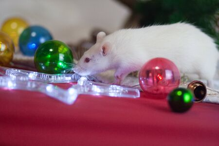 Diet New Years Rat celebrates Christmas and New Stock Photo