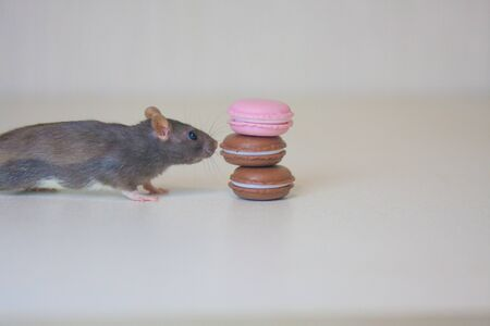 Gray rat on a white background eats colored macaroon cookies