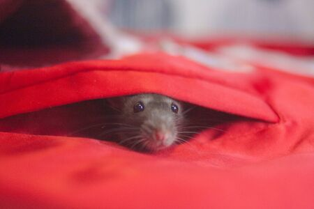 The gray rat in the pocket of the costume of Santa Claus. Mouse showed nose