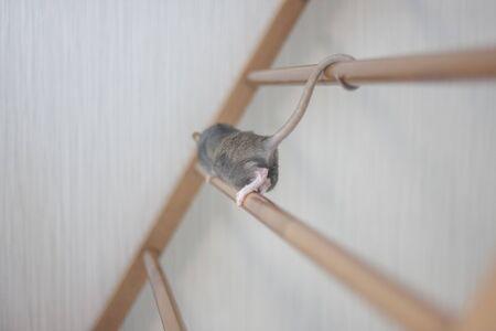A rat pest climbs the peaks. 版權商用圖片