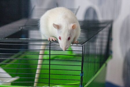 Rat is a white symbol of 2020. Riding on a cage. House for the rodent