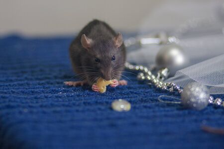 Gray mouse eats cheese on a blue cloth Stockfoto
