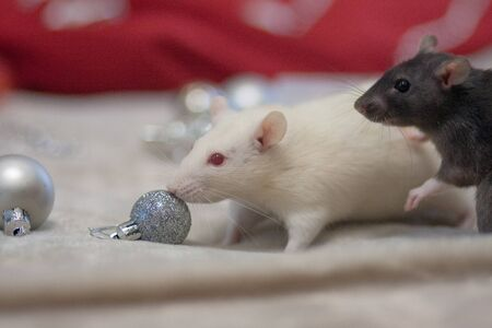 Christmas smell concept. The mouse is a symbol of the new year of the Chinese calendar. Sniffing christmas decoration