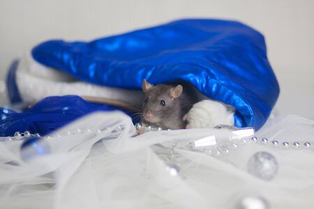 Gray mouse hiding in a New Years cap