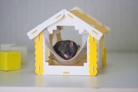 The gray mice are sleeping in a homache. The yellow house. Mortgage concept