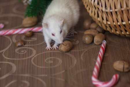 White mouse eats New Years lollipop. Sugar stick and white rat. symbol of chinese new year