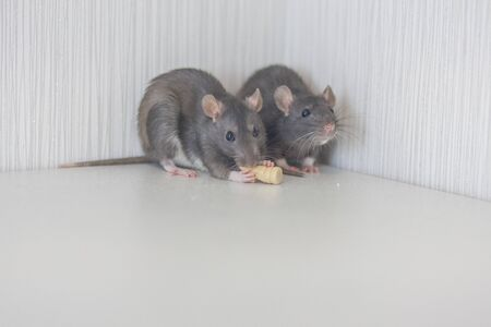 Rats are gray together. Cornered. Trap. no where to retreat Stockfoto