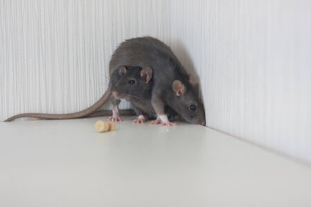 Rats are gray together. Cornered. Eat cheese and enjoy life