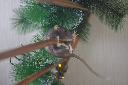 The gray rat falls down. The mouse is a symbol of the Chinese Asian New Year. Gray rat on a xmas tree. Pink ears and nose