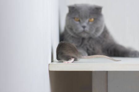 The gray rat and the cat. The look of the enemy. Danger Cat and mouse game