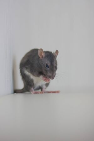 The gray rat eats. pet food