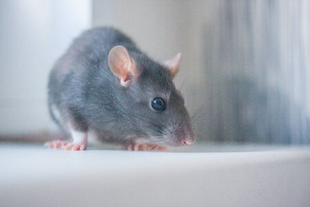 The rat is gray. The mouse is a symbol of the Chinese Asian New Year. The gray rat sniffs out the cheese. Pink ears and nose