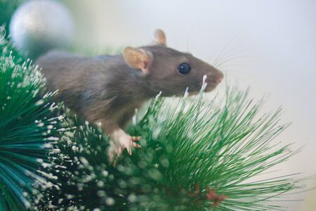 The rat is gray. The mouse is a symbol of the Chinese Asian New Year. Gray rat on a branch of a green Christmas tree. Pink ears and nose Stockfoto