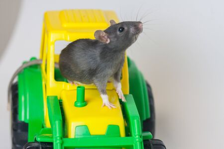 The gray rat is looking up with an agricultural tractor. The mouse is a symbol of the Chinese Asian New Year. Gray rat and dreams of grain