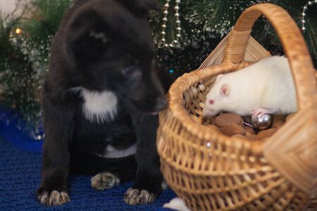 The rat is a white and black dog. Protection. Bodyguard. Dog guards a white mouse in a wicker basket