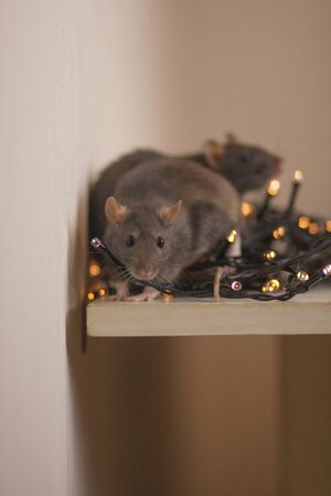 Rats are gray among the New Years lights. Decoration for the xmas tree. Rats are a family among the holiday. new year with family Stockfoto