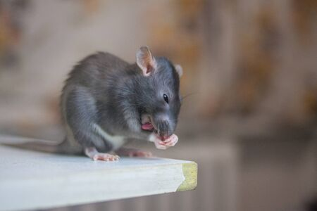 The gray rat eats cheese. Rodent nutrition. Pets