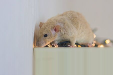 Beige rat on a white background among New Years luminous decorations sniffs out cheese Stockfoto
