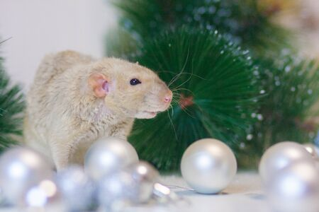 Beige rat on a Christmas tree background among New Years luminous decorations sniffs cheese Stockfoto