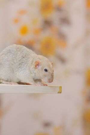 Beige rat on a light background stands on the edge of the table Stockfoto