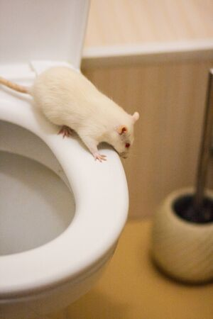 Fall down concept. White rat on the toilet. on white background. flush everything down the toilet. Symbol of 2020. Chinese New Year Stockfoto