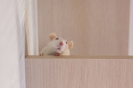 The rat is white. The symbol of the Chinese New Year 2020. The rat was successful. Rat on top. Rat is a winner. Look down