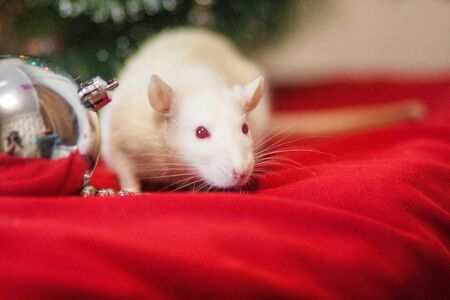 The rat is white. The symbol of the Chinese New Year 2020. A rat sniffs out cheese. Mouse sniffing a holiday