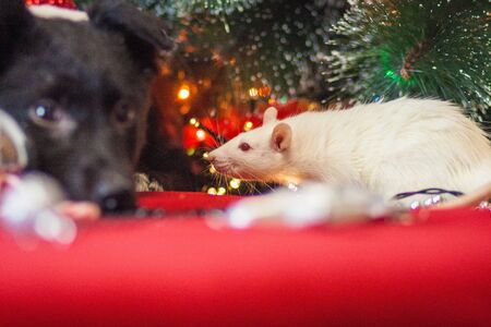 The rat is a white and black dog. The symbol of the Chinese New Year 2020. A rat and her friend on a Christmas background. New Year holiday Stockfoto