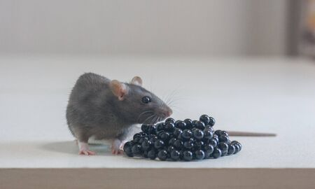 The rat is gray. Bio waste concept. Rat and its excrement. Risk of infection Stockfoto