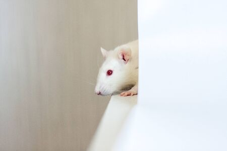 The rat is white. Rat behind a white sheet of paper. Mouse on white background