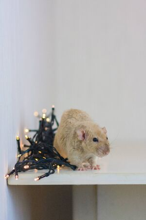 Beige rat on a white background among New Years luminous decorations