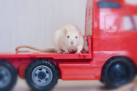 The white rat is leaving in a red car. Escape concept. Runaway Bride. Symbol of chinese new year Stockfoto