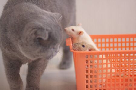 A white rat in an orange box is hiding from a gray cat. Symbol of chinese new year