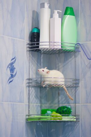 The rat is white. Among the bottles with shampoo and shower gel. Mouse in the bathroom. Symbol of 2020. Chinese New Year