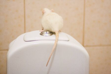 hemorrhoids concept. White rat on the toilet. on white background. flush everything down the toilet. Symbol of 2020. Chinese New Year
