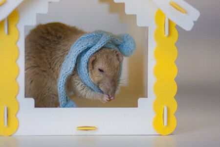 The rat is beige. The symbol of the Chinese New Year 2020. A rat in a warm winter scarf, in a yellow house. Stockfoto