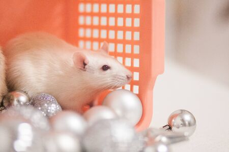 The white rat is looking forward, a symbol of the new year, the Chinese calendar, among New Years toys. silver balls