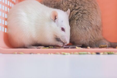 The white rat washes its face, a symbol of the new year, the Chinese calendar, among the boxes of orange