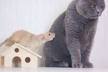 Beigeuu rat, symbol of the new year, Chinese calendar, and a gray cat. Acquaintance. Danger Stockfoto