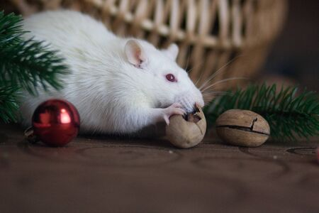 Food New Years table concept. symbol of chinese new year. The rat is eating a nut. Mouse among the christmas decorations