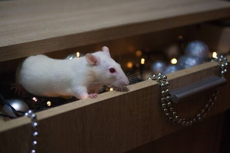 The rat is white, hiding in a box of decorations to the Christmas tree. The mouse is mink. the birth of the new year. symbol of chinese new year